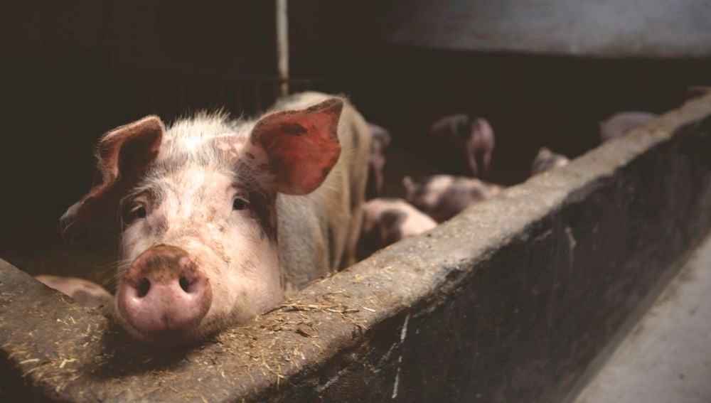 Los cerdos se extrajeron de mataderos, y se utilizaron más de cien para este experimento