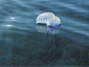La carabela portuguesa en aguas de Baleares