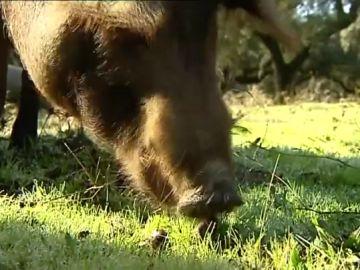 Un cerdo ibérico