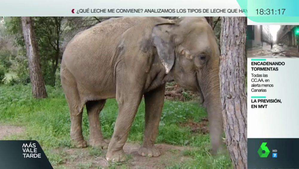 Tener una elefanta como animal de compañía: el caso de Dumba, que ha enfrentado a vecinos y animalistas