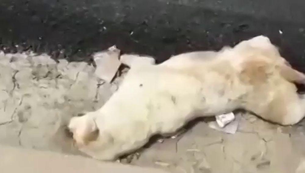 Un perro muere después de que unos obreros de la India vertieran alquitrán sobre su cuerpo mientras dormía