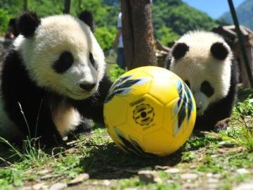 Pandas con un balón