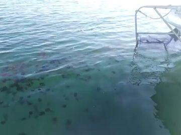 Retiran once toneladas de medusas en la Costa del Sol