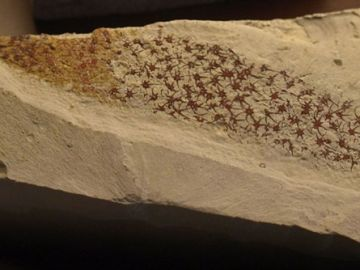 Extraña criatura marina fósil hallada