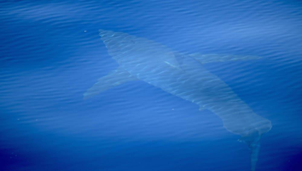 Imagen del avistamiento histórico de un tiburón blanco en Baleares