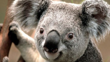 Salvar a los koalas es posible a traves de su genoma