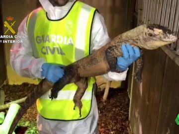 Dragón de Komodo incautado por la Guardia Civil