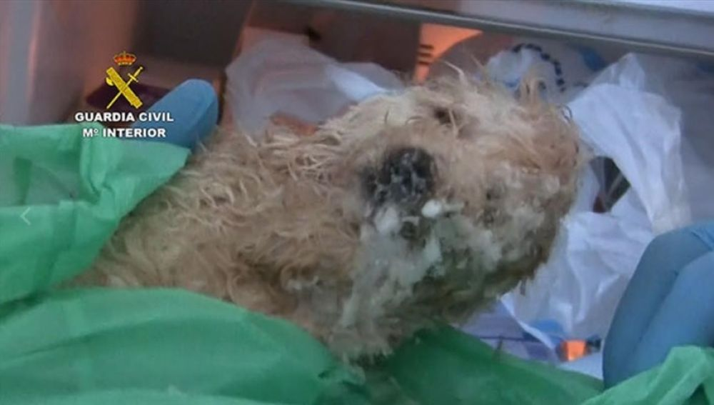 Perro intervenido de un criadero en Vinarós