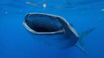 El tiburon ballena puede alcanzar los 130 anos de vida