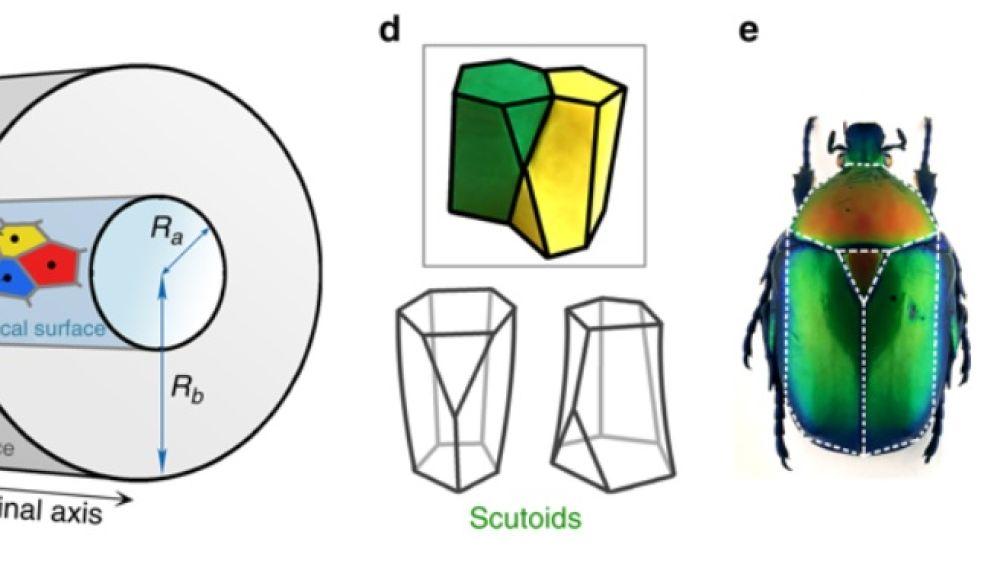 Escutoide, la nueva forma geométrica