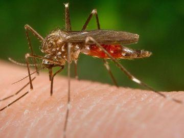 El mosquito 'Aedes japonicus'