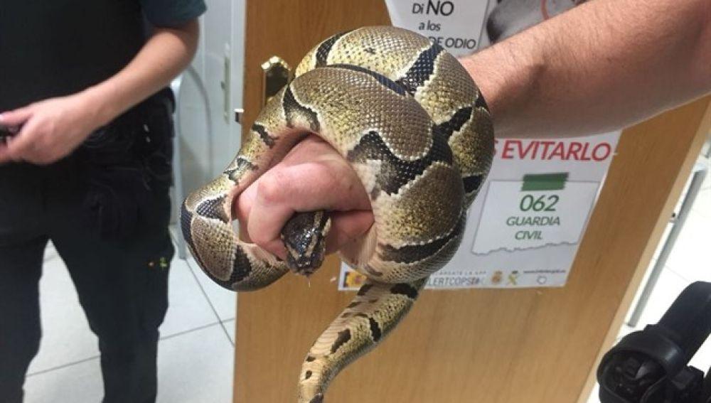 Serpiente pitón encontrada en el baño de una vivienda
