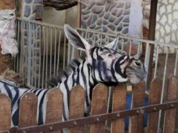 Burro pintado de cebra en un zoo de El Cairo
