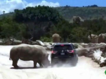 ¡Un susto de muerte! Un rinoceronte embiste el vehículo de una familia en un safari