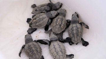 Tortugas bobas recién nacidas en la playa de Mataró
