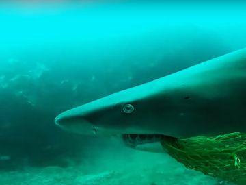 Tiburón con una red de pescar en Byron Bay