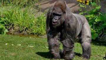 Fritz, el gorila más viejo de Europa