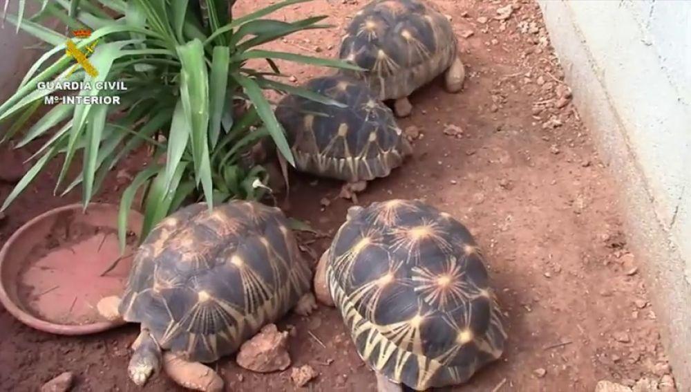Desarticulada una organización dedicada al tráfico de tortugas