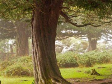 En la imagen un tejo en un bosque de la zona de Cantabria