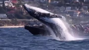 BORRADOR Captan el increíble momento en el ballena emerge justo delante de una embarcación con turistas