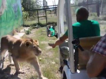 La increíble reacción de un 'feroz' león tras meterse en el vehículo de unos turistas
