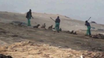 Matanza de lobos marinos en Namibia