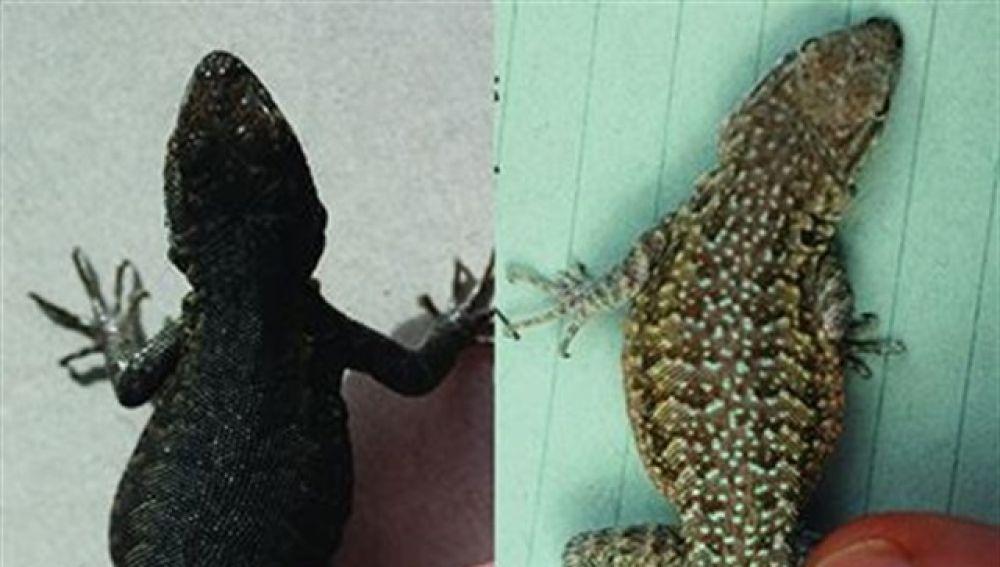 Dos especies de lagartijas del desierto de Mojave