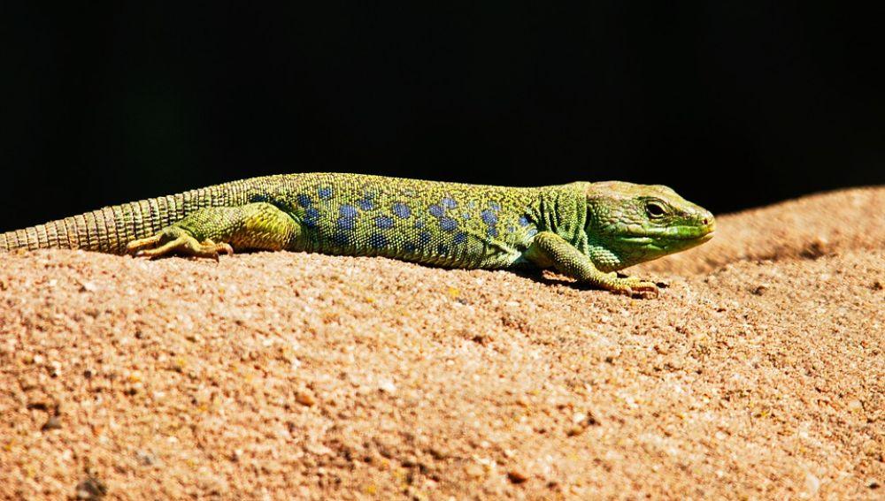 Así cambia de color un tipo de lagartijas de un desierto de California