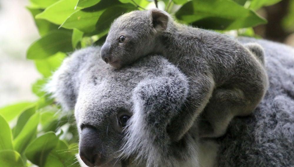 Un koala con su cría