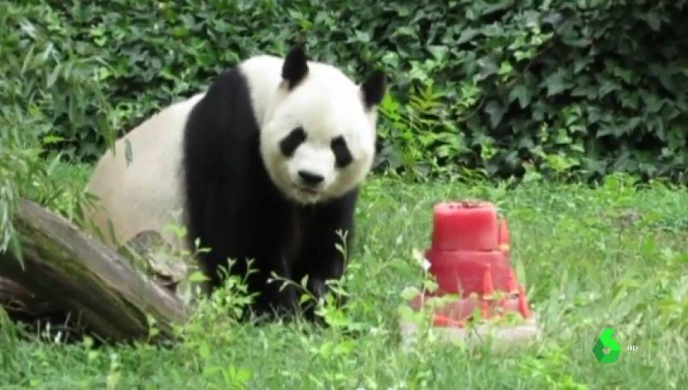 BORRADOR Chulina, la primera hembra de oso panda nacida en España, cumple dos años
