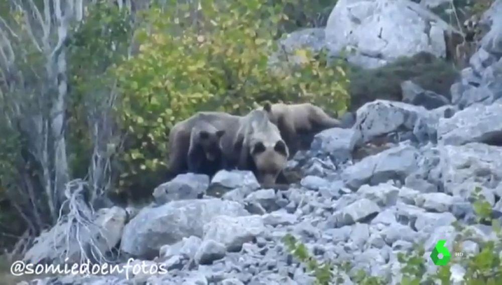 Las dos crías de oso pardo con su madre