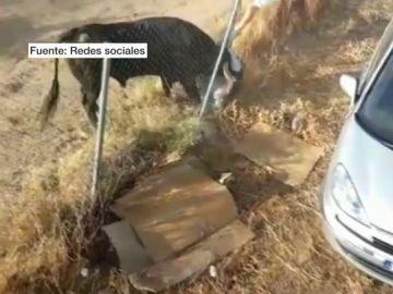Un hombre en estado grave tras ser corneado por un toro en Medina del Campo