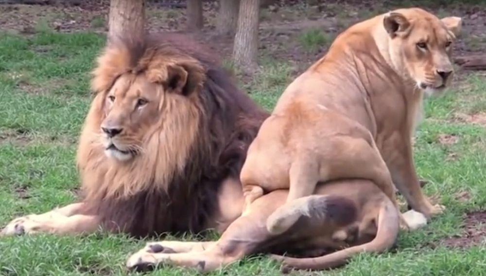 Una leona intenta llamar la atención del león