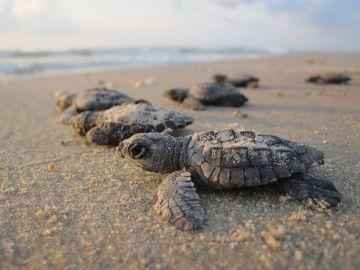 Tortugas anidando en una playa