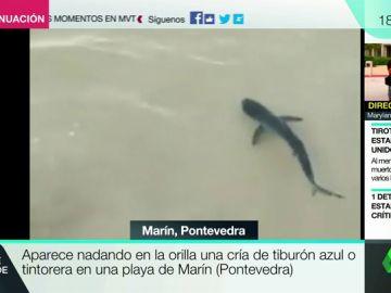 BORRADOR Aparece nadando en una orilla una cría de tiburón azul o tintoreta en una playa de Marín (Pontevedra)