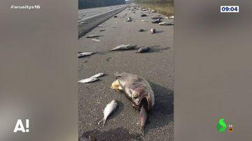 Aparecen millones de peces sobre el asfalto