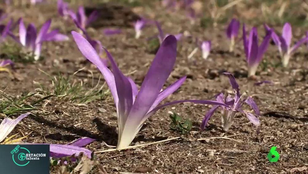 Así es la flor 'quitameriendas'