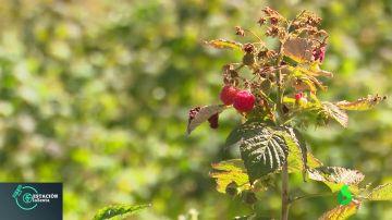 Las propiedades de los frutos del bosque