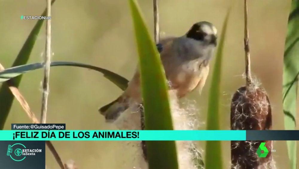 Consiguen grabar al huidizo pájaro moscón en un soto fluvial de Badajoz