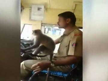 Suspenden a un conductor de autobús por dejar conducir a un mono