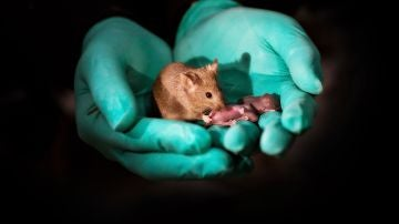 Las crías de ratón generadas a partir de dos madres