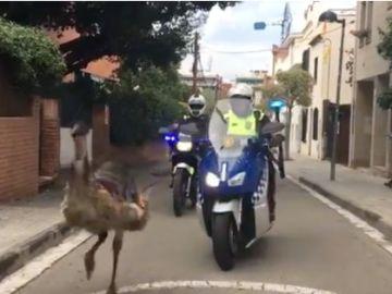 Dos policía persiguen a un Emú en las calles de Sant Cugat