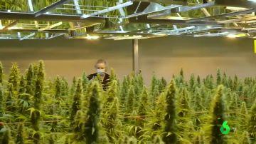 Beneficios económicos VS. consecuencias en la salud: los efectos que tendría la legalización del cannabis en España
