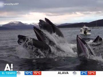 El espectacular vídeo de una manada de ballenas saliendo a la superficie a comer