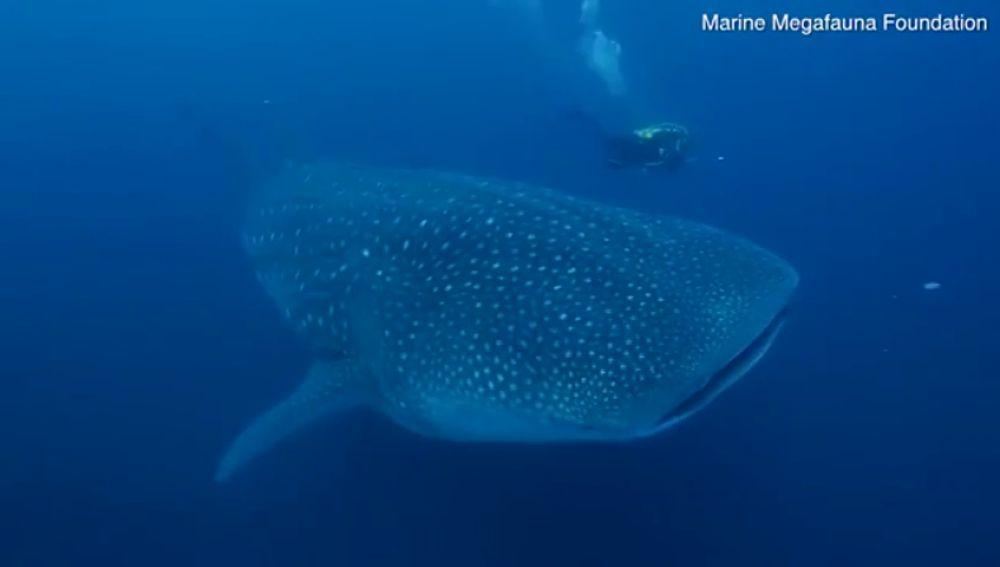 Así es la primera ecografía a un tiburón ballena