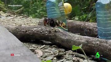 """Así ataca la avispa asiática, el mayor enemigo de nuestras abejas: """"Las decapita"""""""