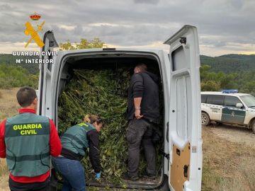 Parte de las plantas de marihuana intervenidas