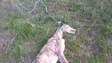 El Seprona investiga el hallazgo de una galga ahorcada en Rociana del Condado