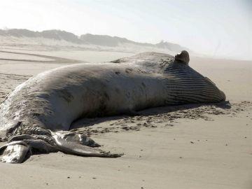 Aparece una ballena muerta de 18,5 metros en una playa de Portugal