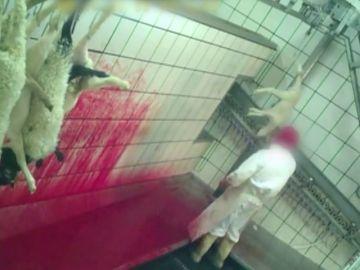 Lanzados, pateados y degollados sin aturdir: las imágenes del brutal maltrato en un matadero de Segovia